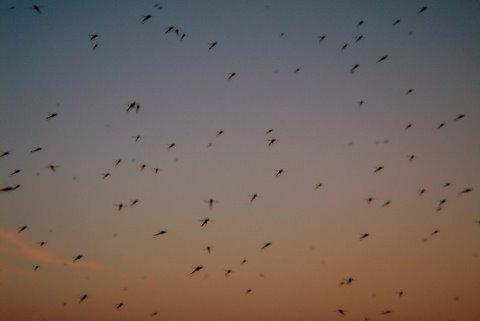 komary nad morzem